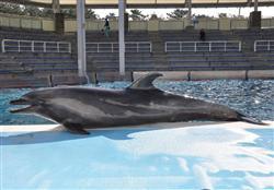 死亡したハンドウイルカのクロ。豪快なジャンプが子供たちを魅了した(新潟市水族館マリンピア日本海提供)